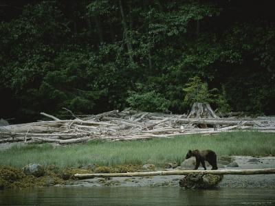 A Grizzly Bear Balances on a Fallen Tree