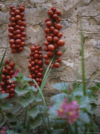 Strings of Tomatoes Dry on a Wall Near a Bed of Begonias