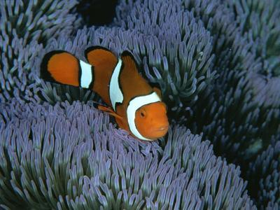 A Clown Anemonefish of the Western Pacific on Sea Anemone Tentacles