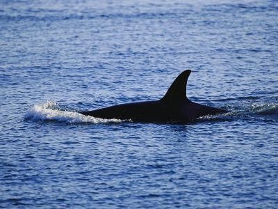 The Dorsal Fin of a Killer Whale, Orcinus Orca, Slices Through Water