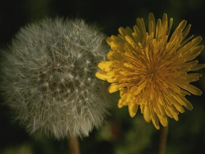 Two Stages of Dandelion Side by Side, Yellow Petals and Seed Head