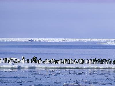 Adelie Penguins, Pygoscelis Adeliae, Cluster Together on an Ice Floe