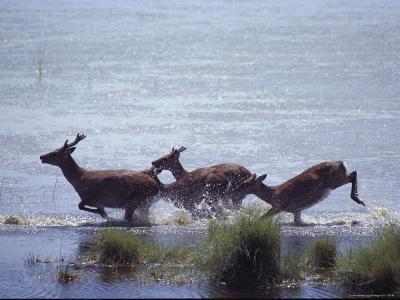 Sika Deer Running Through Marsh Water, Chincoteague, Virginia