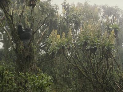 A Silverback Gorilla in a Moss-Covered Tree in the Rwanda Rain Forest