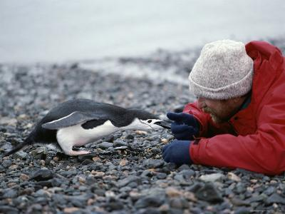 A Tourist Has a Close Encounter with a Chinstrap Penguin