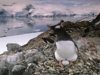 A Gentoo Penguin Cradles its Egg Between its Feet in a Rocky Nest