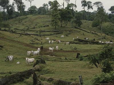 Brahman Cattle on Pasture Cleared from Rain Forest