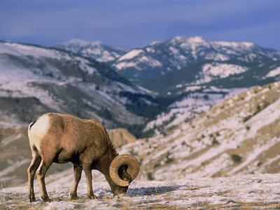 Bighorn Sheep, Yellowstone National Park, WY