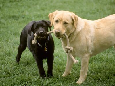 Two Dogs with Rope in Mouth
