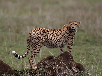 Cheetah, Acinonyx Jubatas, Tanzania