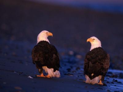 Bald Eagles, Haliaeetus Leucocephalus, AK