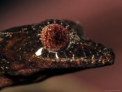 Leaftailed Gecko, Uropltus Phantasticus