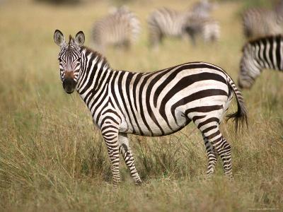 Zebras, Ngorongoro Crater, Africa