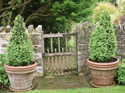 Small Wooden Gate in Stone Wall, with Cone Buxus (Box) Topiary in Containers