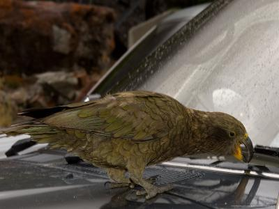 Kea, Picking Rubber Seal on Car, New Zealand