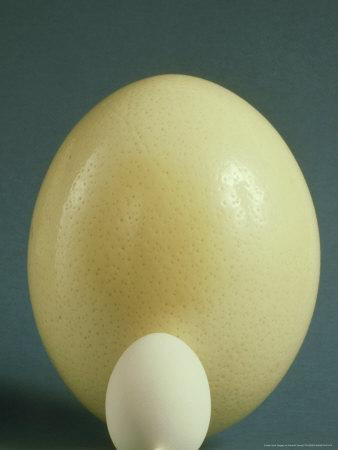 A group of Birds Eggs, Ostrich, Easter Egger, Turkey ...  Ostrich Egg Size Compared To Chicken Egg