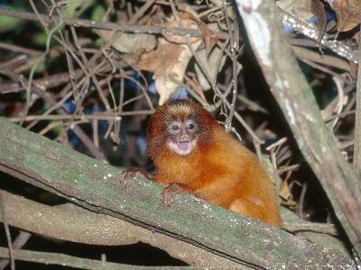 Golden Lion Tamarin, Free-Living Infant, Atlantic Rainforest, Brazil