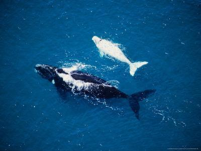 Southern Right Whale, Mother and Calf, Valdes Penin