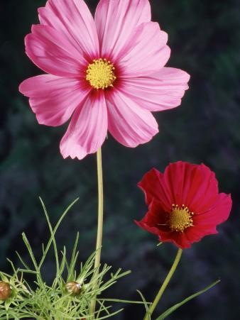 Mixed Cosmos Flowers