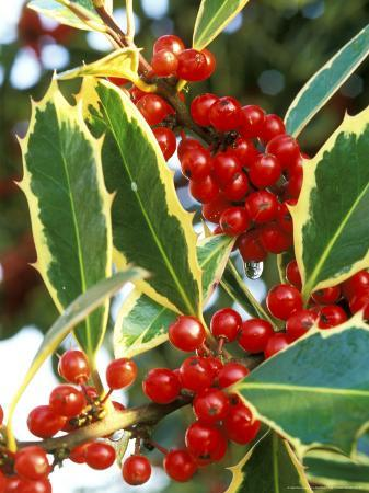 Handsworth New Silver (Holly), Round Red Berries on Dark Green Prickly Leaves with Cream Margins