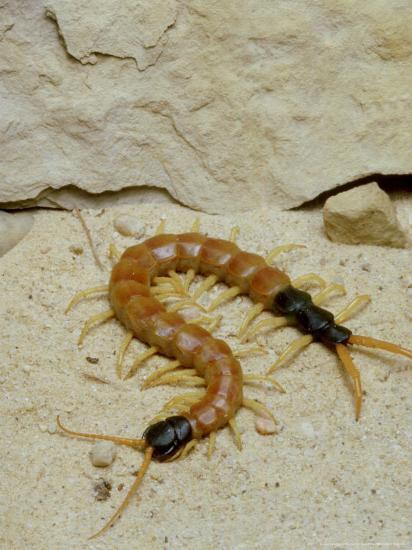 Giant Desert Centipede Arizona Photographic Print By David M