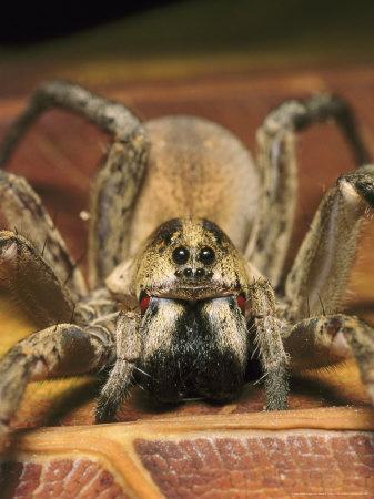 Wolf Spider, Female, Florida, Ocala National Forest