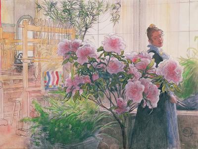 Azalea, 1906