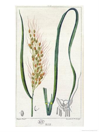 Rice, c.1820