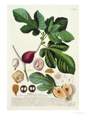 Fig, Engraved by Johann Jakob Haid