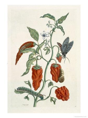 Comfrey, from A Curious Herbal, 1782