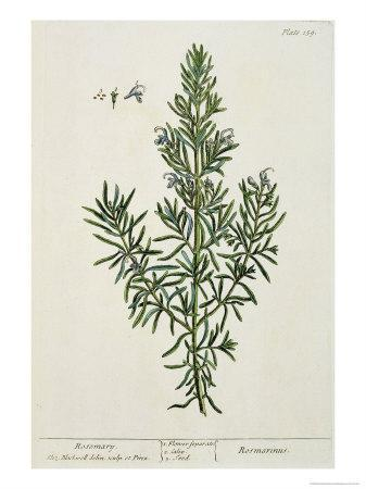 Rosmarinus Officinalis, from 'A Curious Herbal', 1782