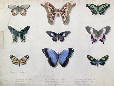 Butterflies from Brazil and Guyana, Mid 19th Century