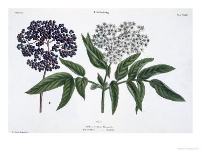 Elder, Fig. 13 from The Young Landsman, Published Vienna, 1845