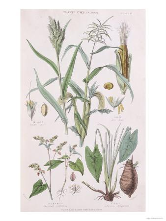 Millet, Maize, Buckwheat and Taro, from A History of the Vegetable Kingdom by William Rhind