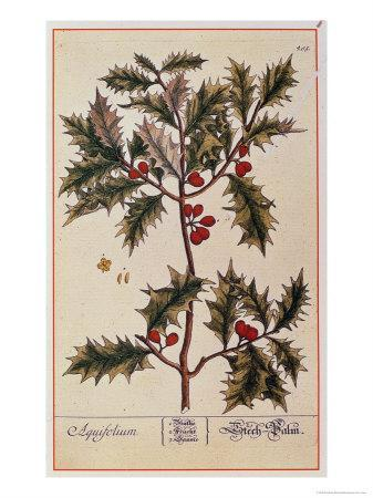 Holly from A Curious Herbal, 1782