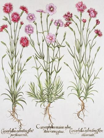 Various Varieties of Dianthus, from the Hortus Eystettensis by Basil Besler