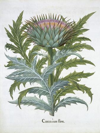The Cardoon, from the Hortus Eystettensis by Basil Besler