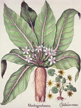 Autumn Mandrake, from the Hortus Eystettensis by Basil Besler