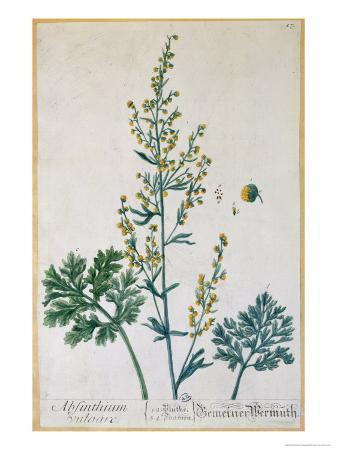 Absinthe, Plate from Herbarium Blackwellianum by the Artist, 1757
