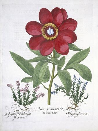 Paeony and Two Polygalons, from Hortus Eystettensis, by Basil Besler