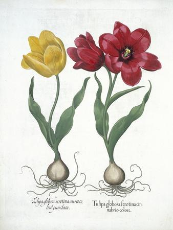 Red and Yellow Tulip, from Hortus Eystettensis
