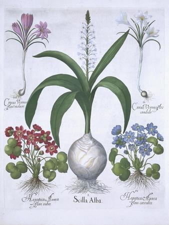 Two Crocuses, Two Hepatica, and a Scilla, from Hortus Eystettensis, by Basil Besler