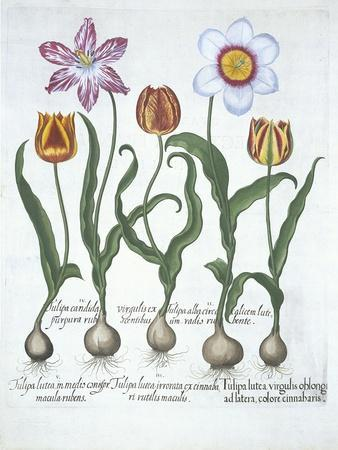 Five Tulips, from Hortus Eystettensis, by Basil Besler