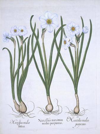 Three White Narcissi, from Hortus Eystettensis, by Basil Besler
