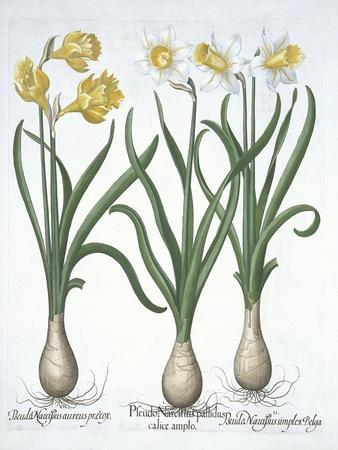 Three Pseudo-Narcissi, from Hortus Eystettensis, by Basil Besler