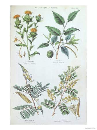 Plants Used in Dyeing, Plate from a Botanical Study, Engraved by J. Bishop, 1872