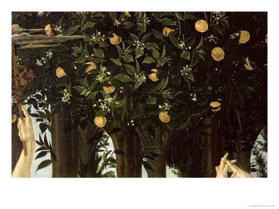 Primavera, Detail of the Orange Tree, c.1478