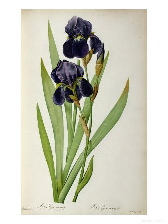 Iris Germanica, from Les Liliacees