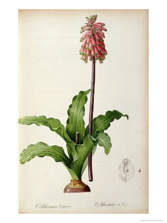 Veltheimia Capensis, from 'Les Liliacees
