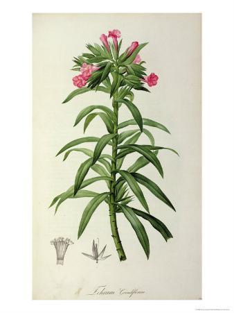 Echium Grandiflorum, from Le Jardin de Malmaison